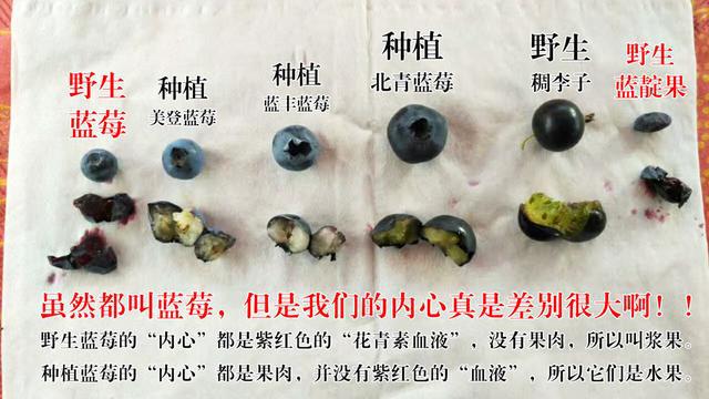藍莓對比圖講解.png