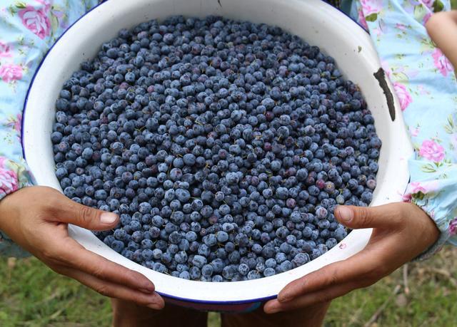 藍莓采摘圖片.png